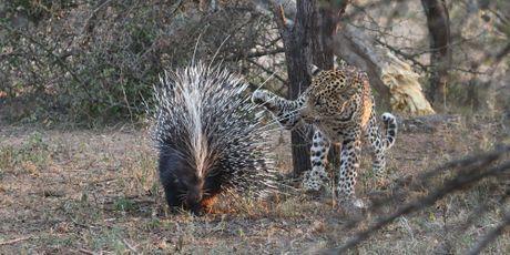 Le porc-épic et le léopard curieux