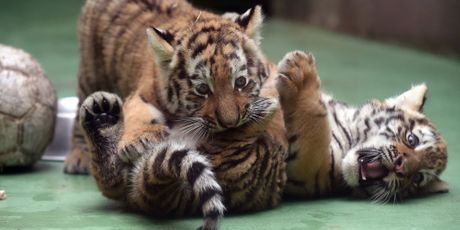 Partie de jeu pour les bébés tigres