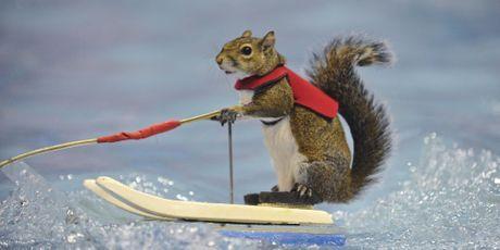 Twiggy, l'écureuil star du ski nautique