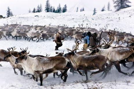 Loup en Sibérie