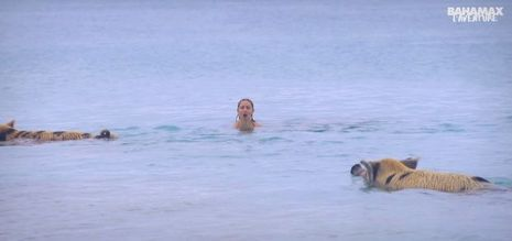 Cernée par les cochons nageurs des Bahamas