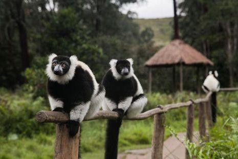 Des lémuriens Indri Indri, les plus grands de l'île.