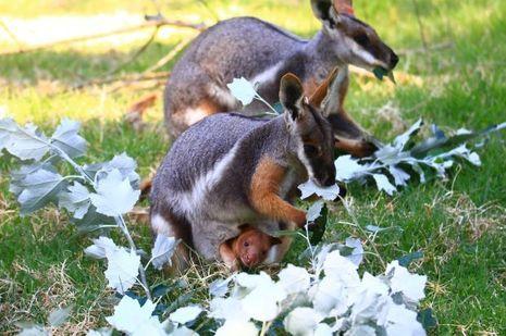 Kangourou-arboricole