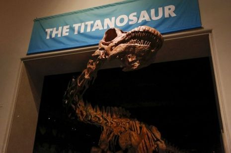 Le titanosaure est si long que la vaste salle qui l'accueille ne suffit à contenir la reconstitution.