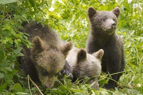Les ours ont été réintroduits en France au début des années 90. Ils sont aujourd'hui une trentaine dans les Pyrénées.