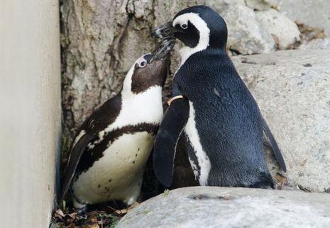 pingouins gays toronto II-