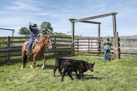 Diane Bohna est en train de capturer des veaux au lasso, comme dans les films !
