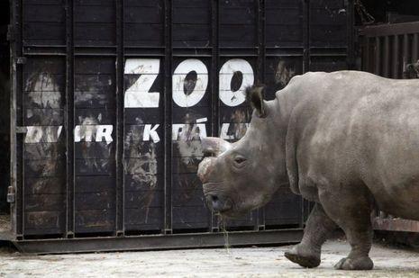 Suni-rhinocéros