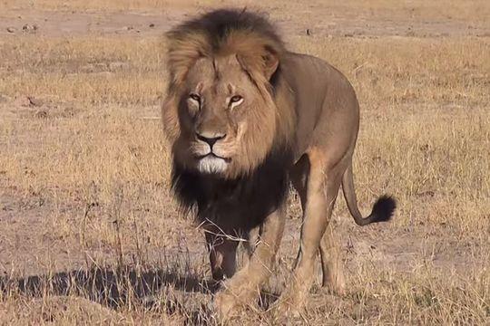 Le tueur de Cecil le lion traqué à son tour