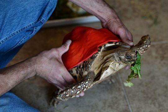 Cleopatra, la tortue à la carapace 3D