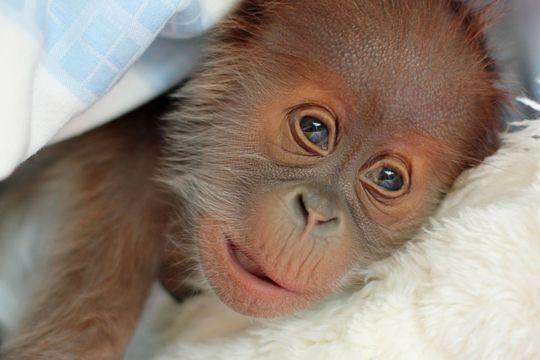 Reike, l'orang-outan abandonné par sa mère
