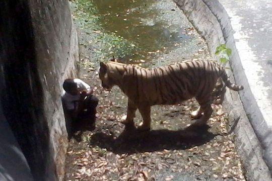 Attaque mortelle de tigre au zoo de New Delhi
