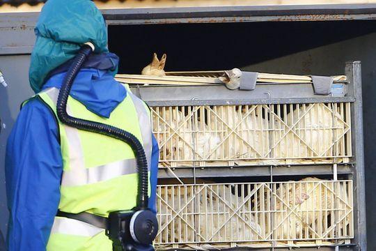 Opération anti-grippe aviaire en Europe