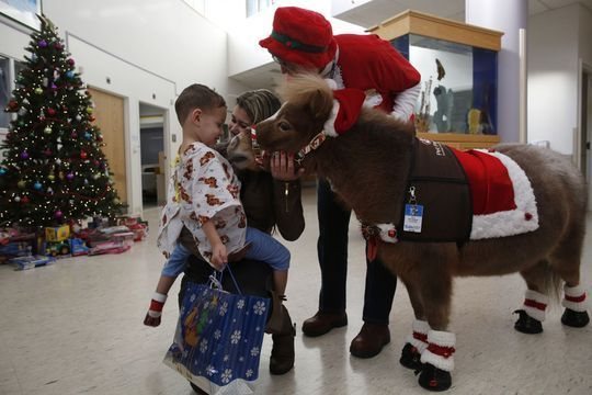 Les mini-chevaux, visiteurs insolites à l'hôpital