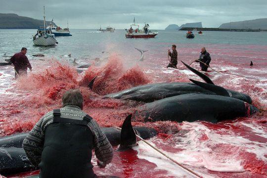 Le massacre des baleines a bien eu lieu