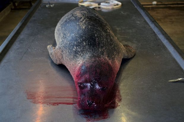 Transporté par Jacky Karpouzopoulos, le corps mutilé d'un phoque fait l'objet d'une autopsie à Liège.