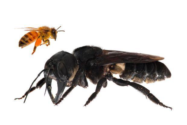 """Cette """"megachile pluto"""" dont la femelle peut atteindre près de 4 cm de long et plus de 6cm d'envergure, soit quatre fois plus grande que l'abeille à miel."""