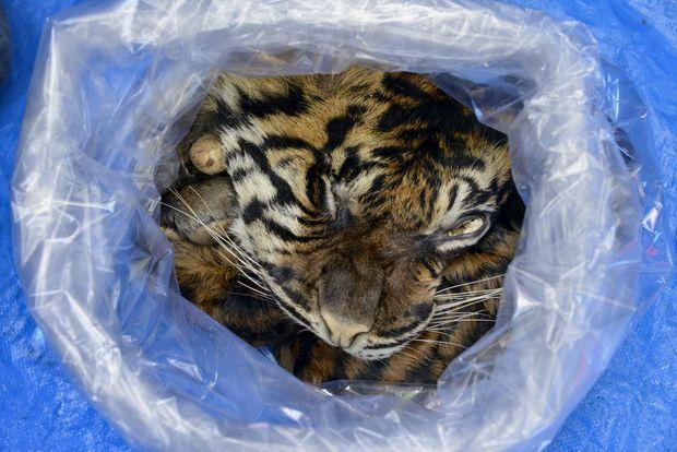 La peau de ce tigre allait être vendue.