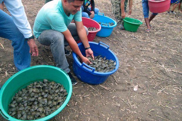 Au total, 500 000 tortues seront relachées
