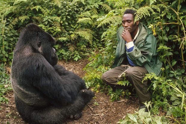 Un gorille des montagnes dans le parc des Virunga