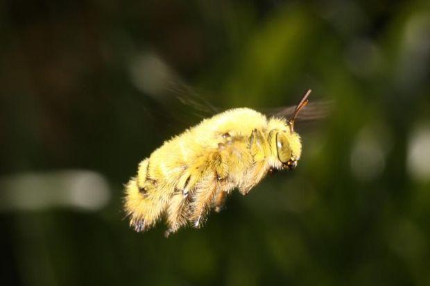 Un bourdon recouvert de pollen.