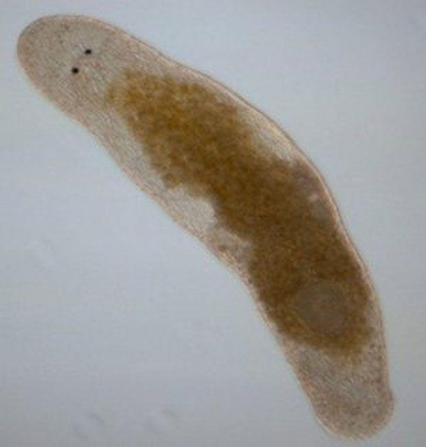Le Macrostomum hystix.
