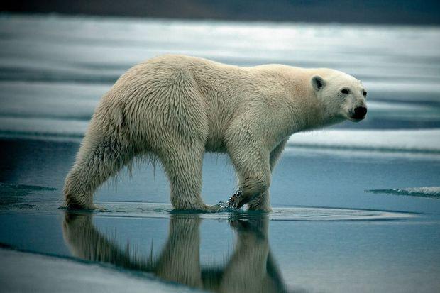 Une jeune ourse polaire cherche désespérément de la nourriture sur la banquise qui dégèle, dans la baie de Radstock, sur l'île Devon, au Canada