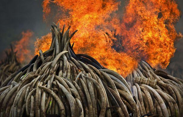 A la fin du Sommet des géants, le 30 avril 2016, 105 tonnes d'ivoire sont brûlées dans le parc national de Nairobi. On estime qu'il s'agit de 5 % du stock mondial.