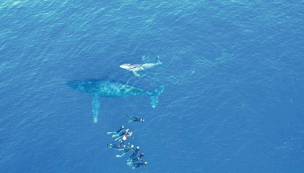A La Réunion, la charte d'observation impose une mise à l'eau à plus de 15 mètres de la baleine, mais celle-ci peut ensuite s'approcher des hommes.