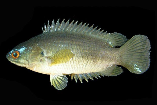 La perche grimpeuse, scientifiquement appelée Anabas testudineus.