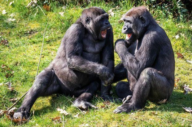 Un animal joueur et sociable. Au zoo Apenheul, aux Pays-Bas, Jabari, le mâle, et Tayari, la femelle