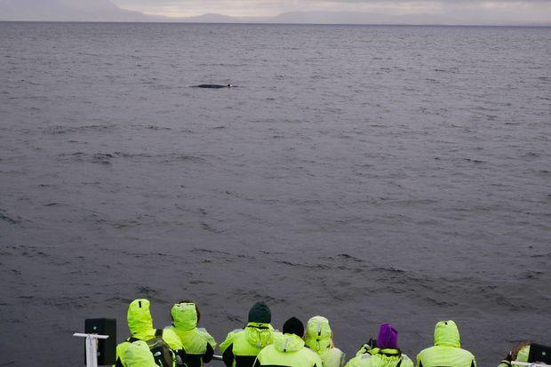 Baleine dans la baie de Reykjavik