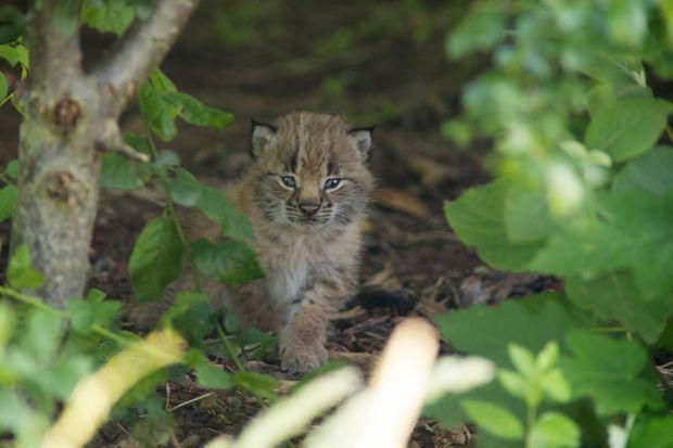 Un des petits lynx, au parc zoologique de Paris.