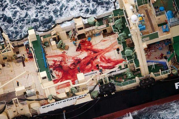 Boucherie en haute mer. Dernier baleinier-usine au monde, le « Nisshin Maru », prétendument dédié à la recherche. En trente ans, ses « études » n'ont débouché sur aucune publication scientifique significative