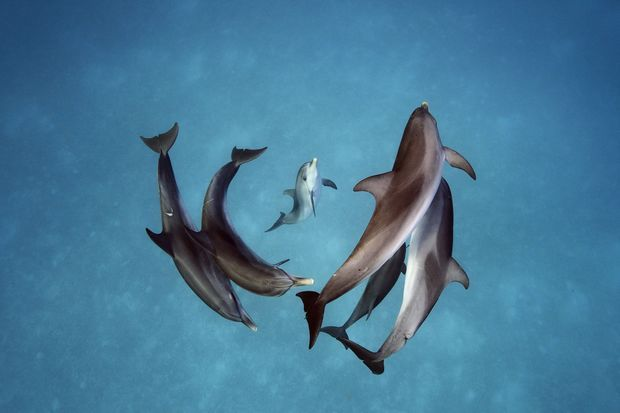 Des dauphins tachetés de l'Atlantique aux Bahamas, photographiés en 2013.