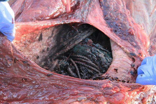 Les déchets retrouvés dans les entrailles du cachalot.