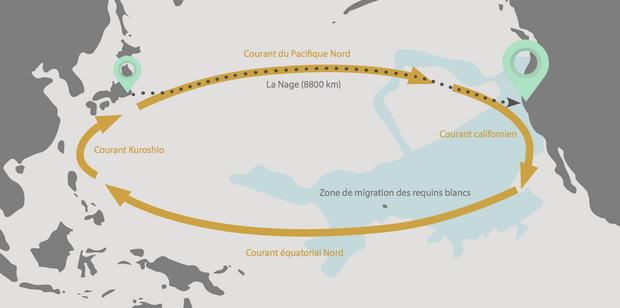 Benoît Lecomte va traverser une zone de 2500 kilomètres où se reproduisent les requins blancs.