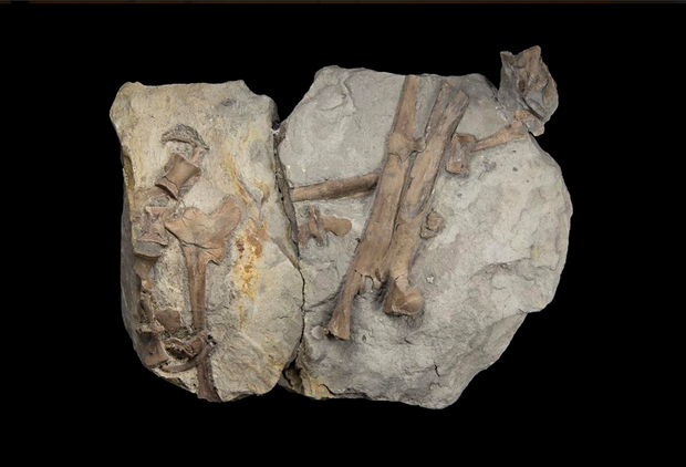 Des fragments d'os du dinosaure.