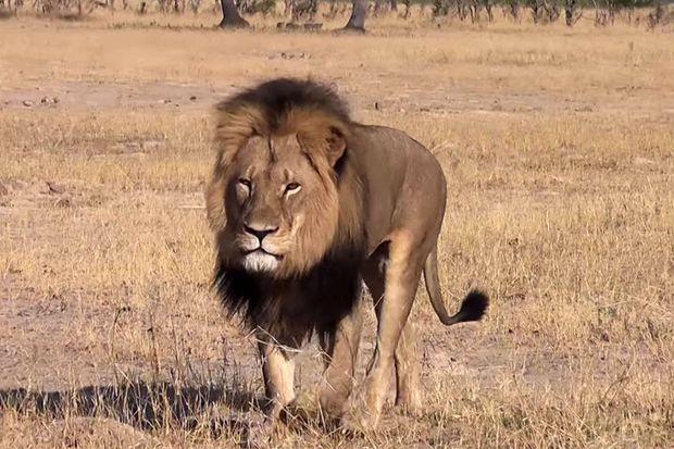 Cecil le lion a été tué début juillet.
