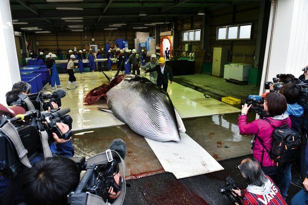 Cette baleine de Minke est exposée aux photographes dans le port de Kushiro, le 1er juillet. Pour célébrer leur première prise officielle, lespêcheurs versent un verre de saké. Un rituel de purification.