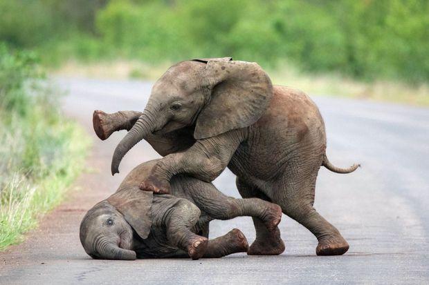 Chamaillerie d'éléphanteaux dans le parc national Kruger, en Afrique du Sud.