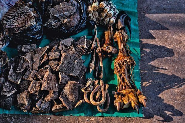 Consommer des écailles de pangolin, de la peau d'éléphant ou encore un pénis de tigre permettrait de guérir du cancer, des troubles de la digestion, de l'érection... Ces croyances sans fondement ont la vie dure en Chine
