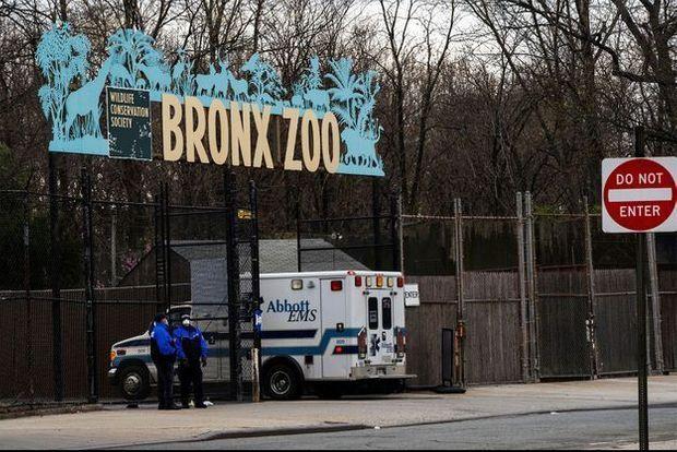 Une ambulance devant le zoo du Bronx où un tigre a été contaminé par le coronavirus.
