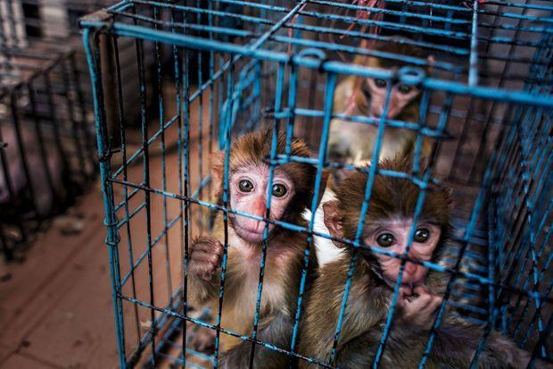 Dans des cages exigües, de jeunes singes braconnés sont exposés à la vente.