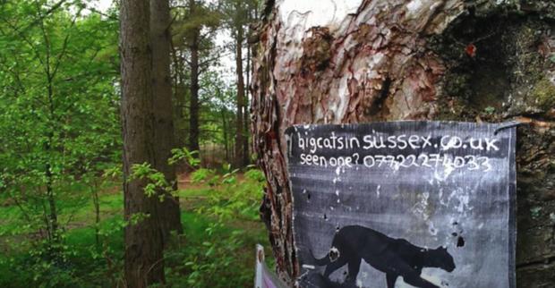 Dans le Sussex, une affichette appelle à signaler les observations d'un fauve vu dans les parages.