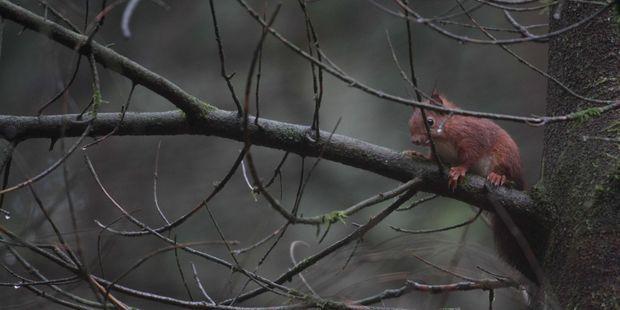 Un écureuil dans une forêt du Limousin (image d'illustration).