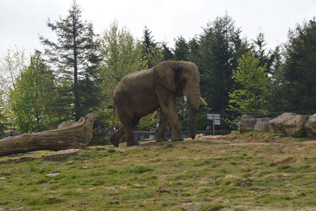 Limbo, l'éléphant mâle né en 1991.