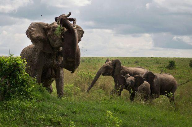 Démonstration de puissance: Au Kenya, un éléphant soulève un buffle imprudent comme s'il s'agissait d'un jouet.