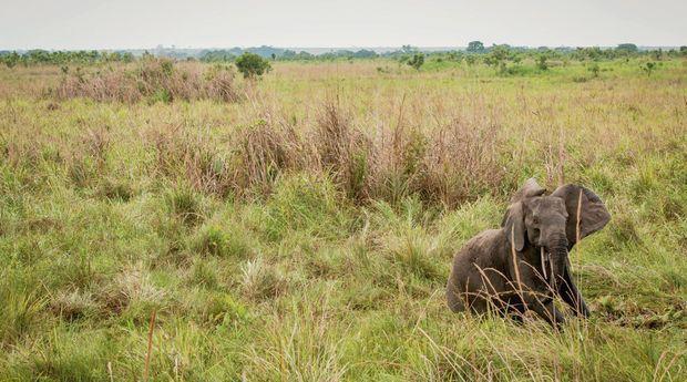 L'éléphante vient de se réveiller. Elle va rejoindre le reste du troupeau.