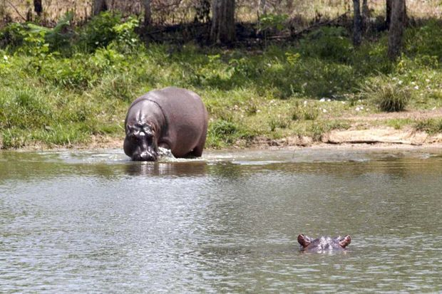 En broutant, les pachydermes détruisent les rives des cours d'eau.